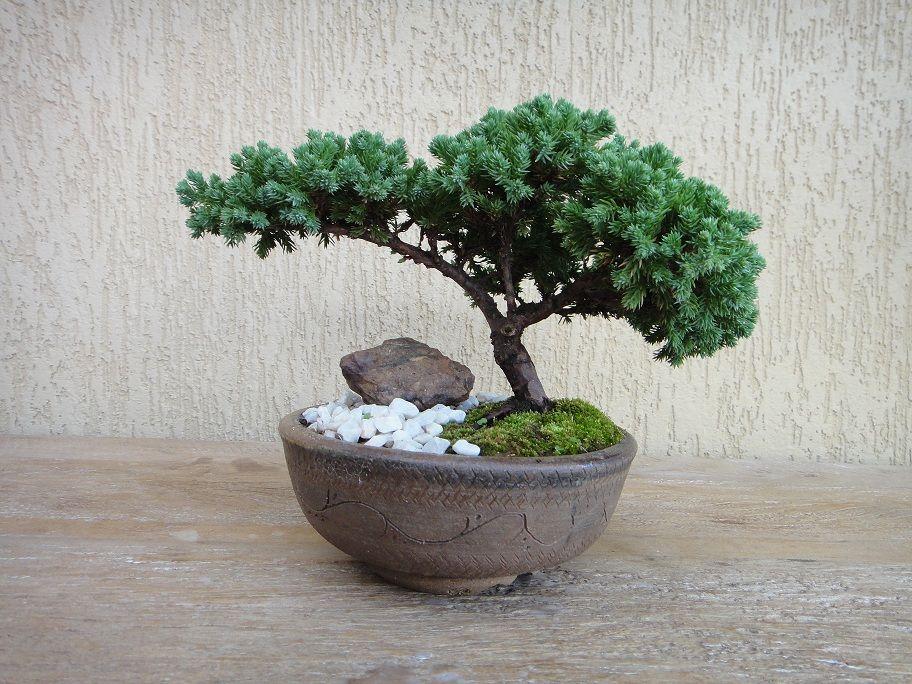 Tuia jacar bonsai pesquisa google jardim pinterest - Como cuidar un bonsai ...