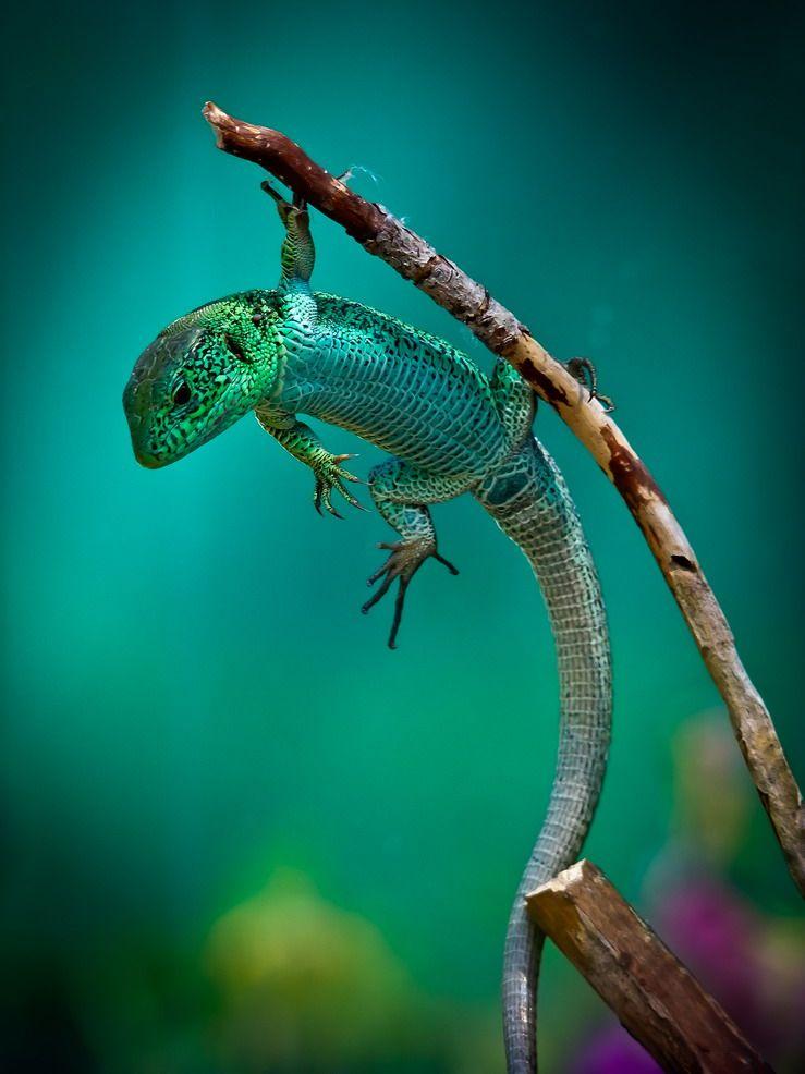 magicalnaturetour: Vyacheslav Mishchenko ~ Hanging Lizard