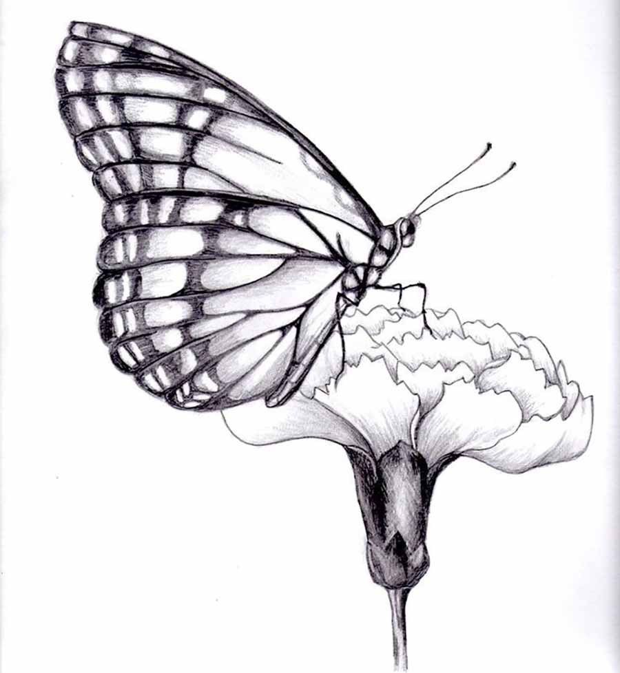 In Todays Video Tutorial You Will Be Learning About How To Draw A Butterfly  Realistically On