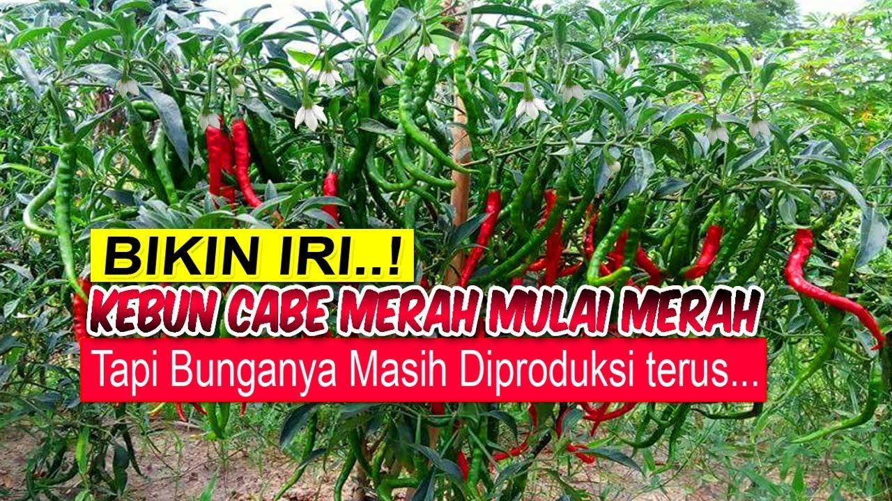 Petani Kebun Cabe