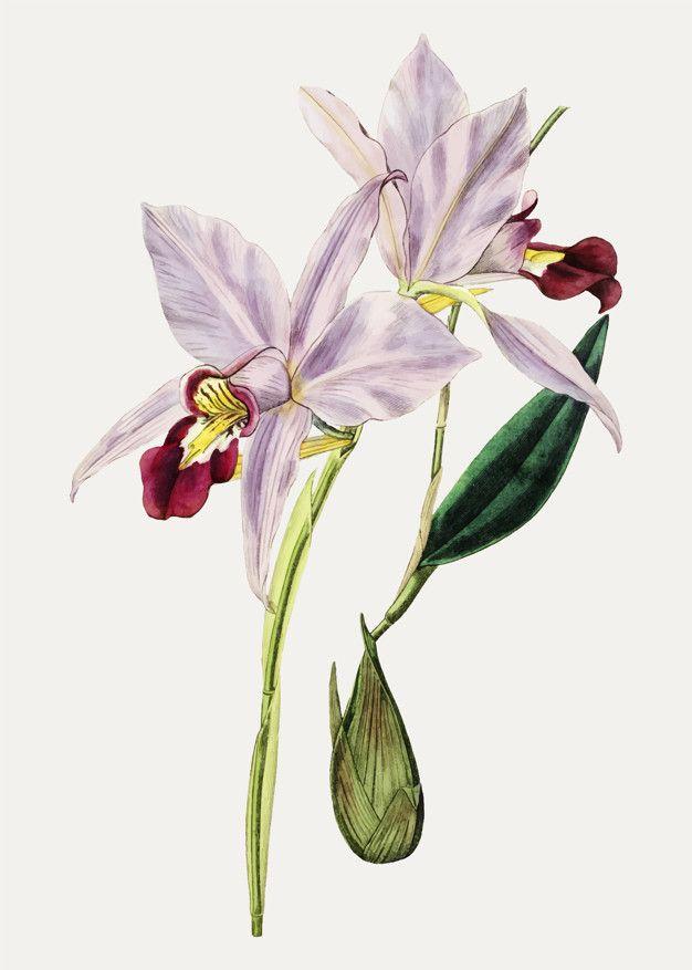 Download Cattleya Flower For Free In 2020 Cattleya Botanical Orchids Vintage Floral Backgrounds