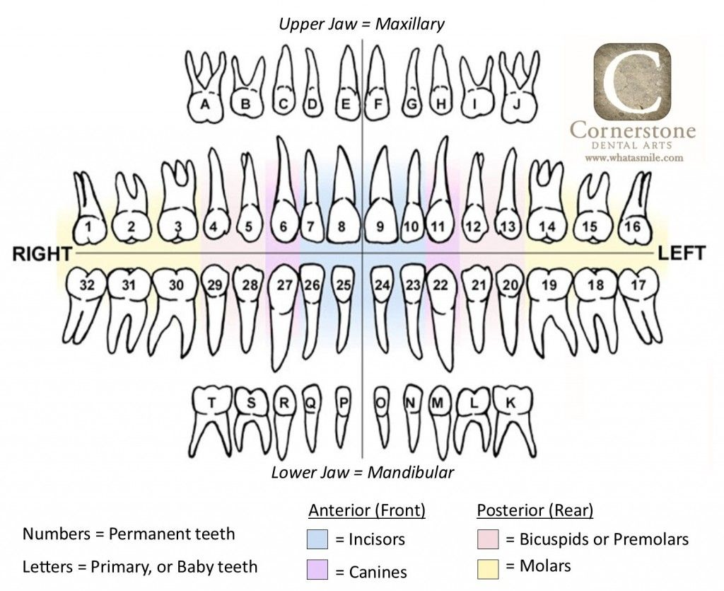 Tooth Chart Or Map