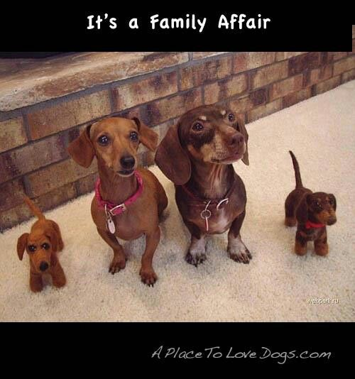 Family Love Those Dachshunds Dachshund Puppies Dachshund Dog