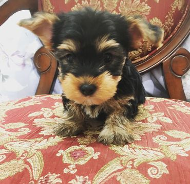 Yorkshire Terrier Puppy For Sale In Los Angeles Ca Adn 58152 On