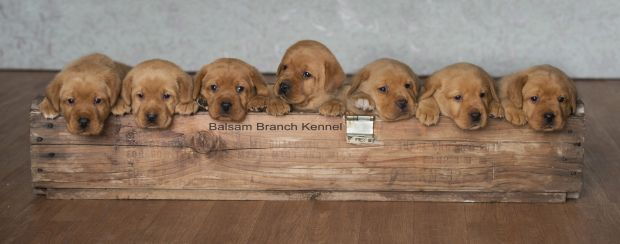 Fox Red Lab Puppies Four Weeks Old Puppies For Sale Cute