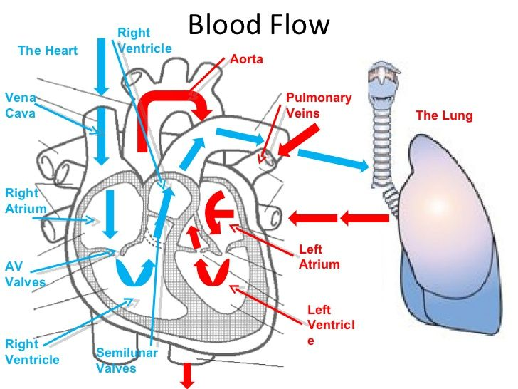 Heart Diagram For Blood Flow Google Search Nursing Pinterest