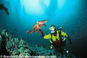 Pacific Giant Octopus (Enteroctopus dofleini), interacts with scuba diver Melissa Cole. Photo by Brandon Cole.