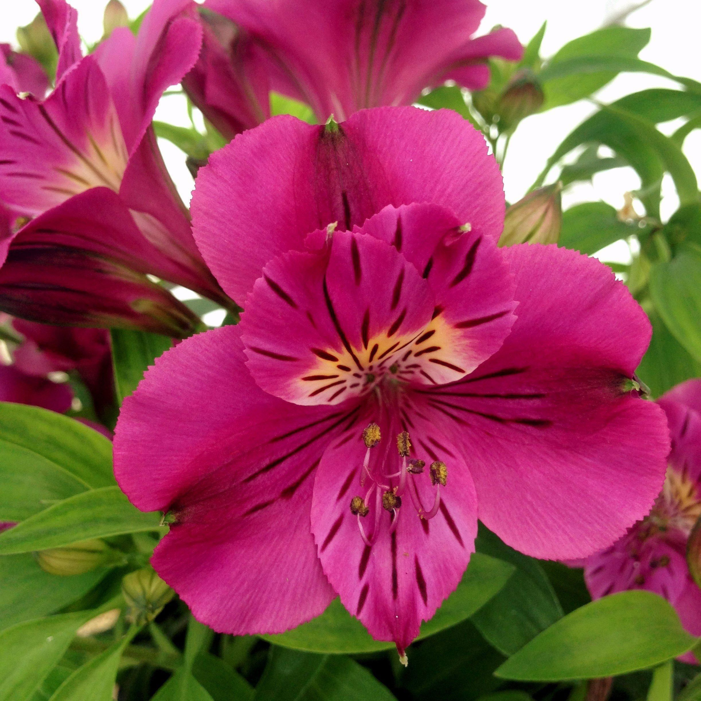Allium Ampeloprasum Alstroemeria Lily Plants Easy To Grow Bulbs