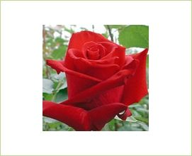 Charlotte - Standard Rose - Roses - Flowers by category | Sierra Flower Finder