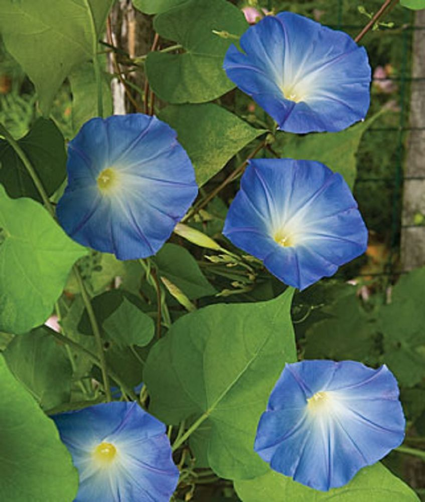 Blue Morning Glory Heavenly Blue Morning Glory Ipomoea Purpurea 100 Seeds Large Flowers 15 Ft Vine Blue Morning Glory Morning Glory Seeds Flower Garden Plans