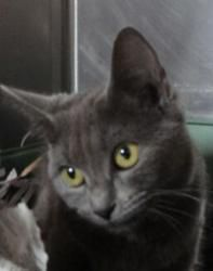 Holly Is An Adoptable Korat Cat In Sevierville Tn Cat Lover Quote Korat Cat Cat Lovers