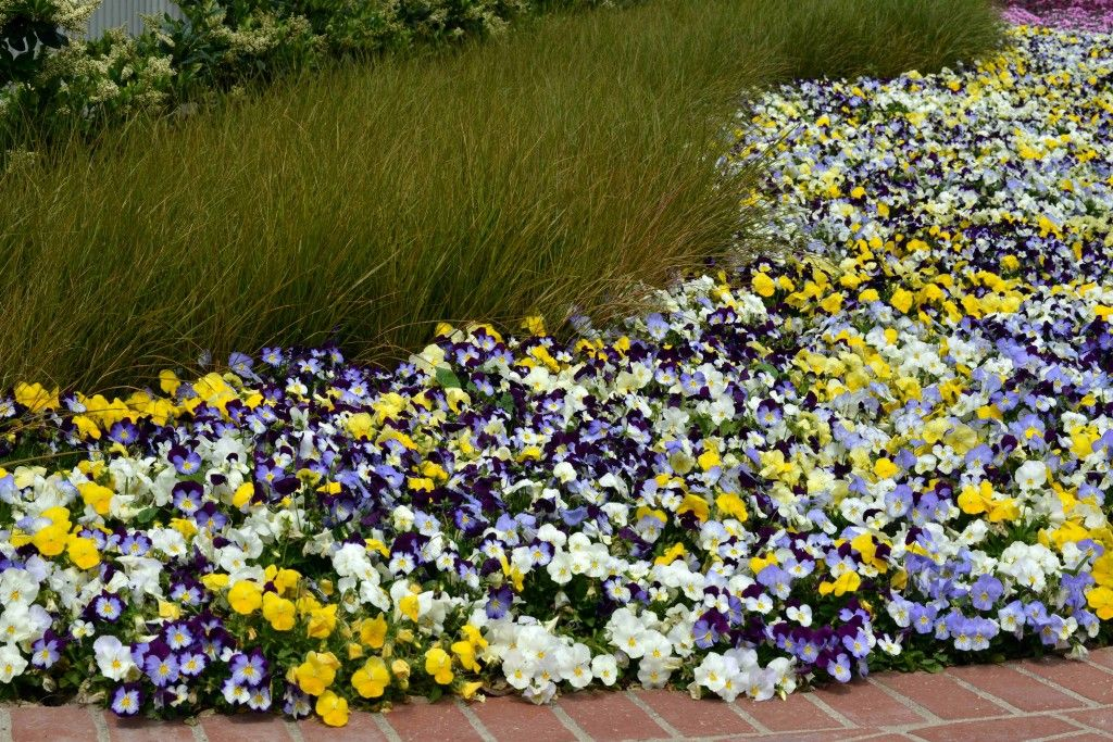 Cool Wave Landscape In 2020 Pansies Plants Annual Flower Beds