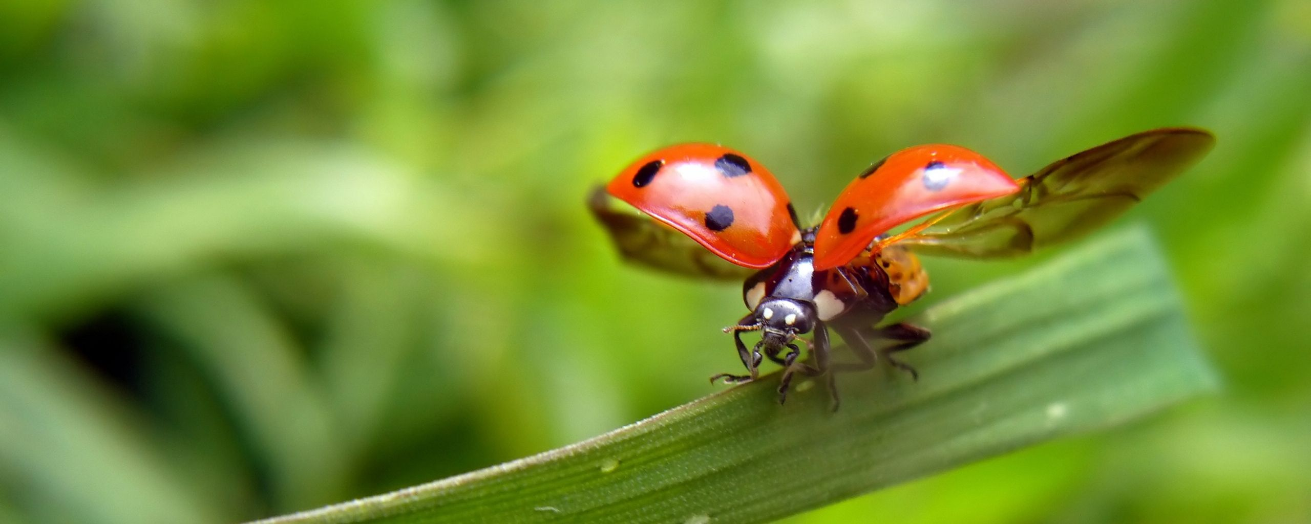 2560x1024 wallpaper ladybug, leaves, grass, flying, wings