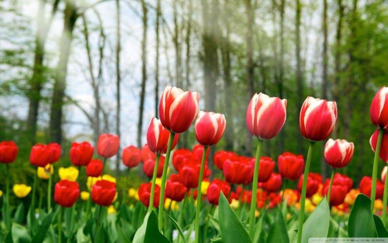 Kebun Bunga Tulip Di
