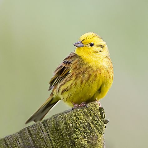 yellowhammer birds of a feather pinterest bird and. Black Bedroom Furniture Sets. Home Design Ideas