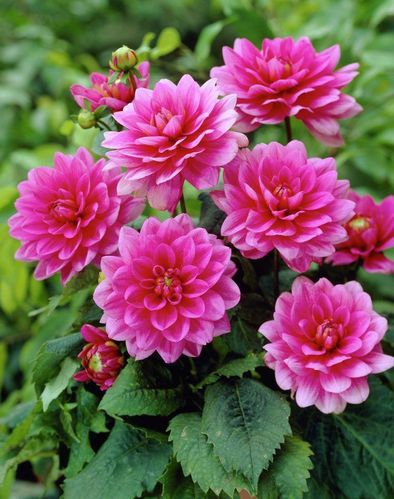 Dahlia Bluesette Plants Flowers 99roots Com Flowers Bulb Flowers Annual Flowers