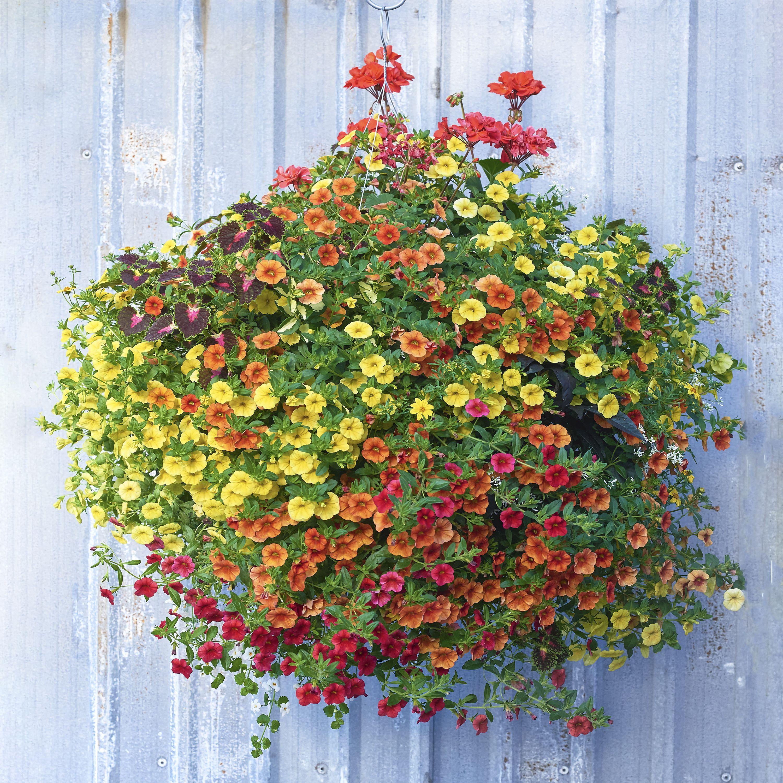 Lantana Hanging Basket Mesmerizing Citrus Squeeze Moss Basket  Pinterest  Gardens Design Ideas