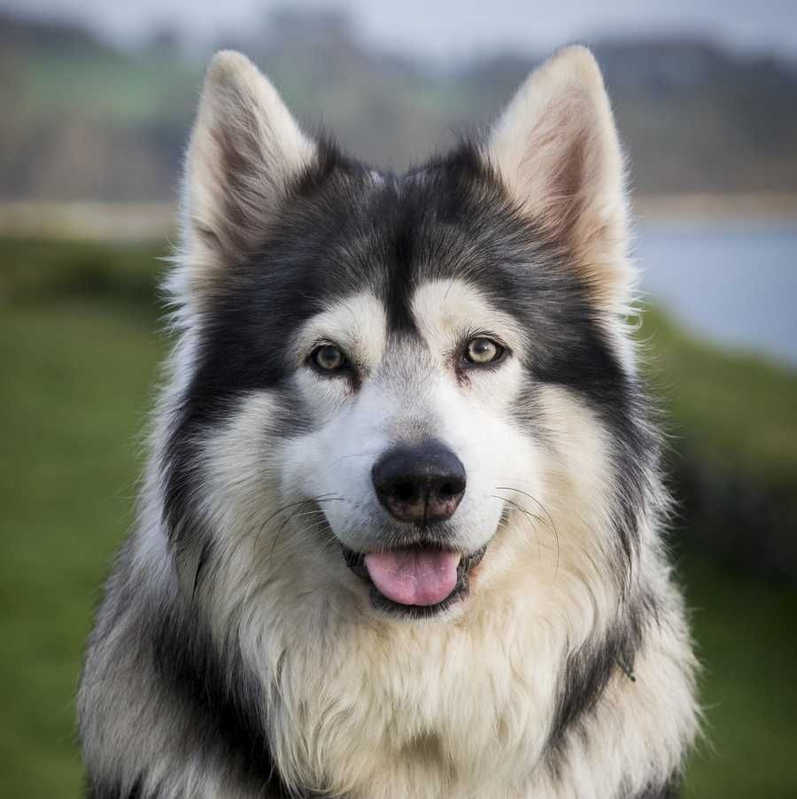 13 Wolf Like Dog Breeds That Make Great Family Pets Northern