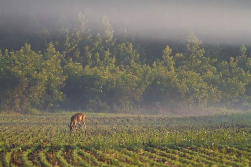 Deer in the mist southern illinois photo by william karns
