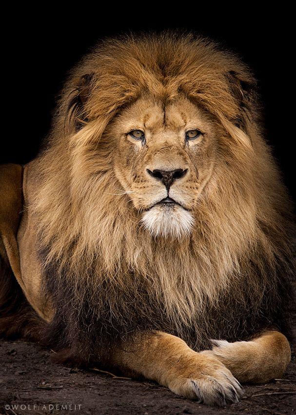 león morro de medo mas sou apaixonada por eles