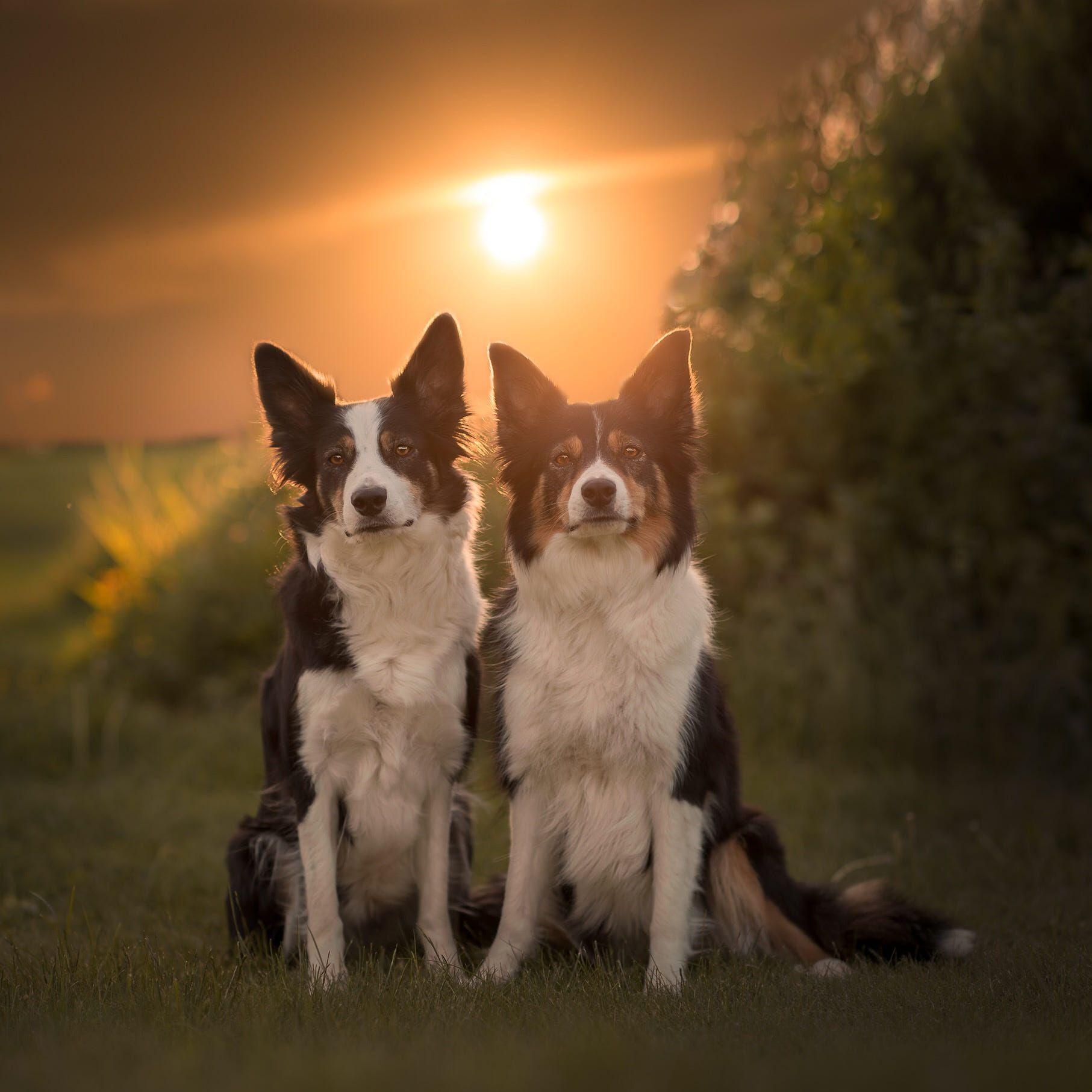 2 Border Collies   Beaux chiens, Chien, J'adore les chiens