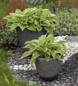 Funkie Im Kubel Hosta Pflanzen Schattenpflanzen Garten Pflanzen