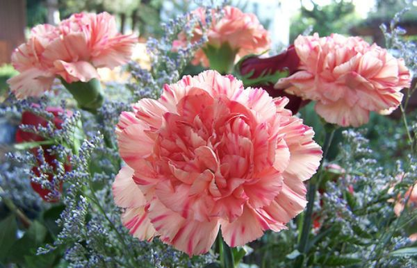 Little Known Facts The Secret Meanings Of Flowers Growing Carnations Carnation Flower Pictures Carnation Flower