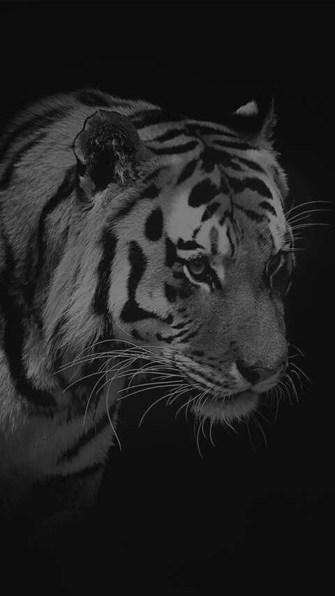 Pin By Youssef On Dx Tiger Wallpaper Iphone Animal Wallpaper Hd Wallpaper Iphone
