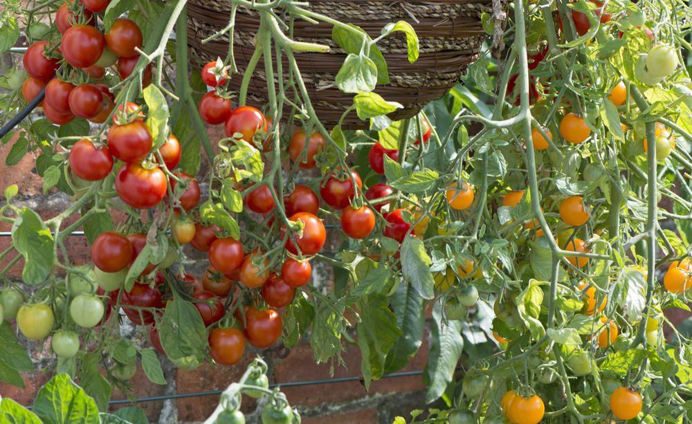 Die Rispentomate Tumbling Tom Ist Sowohl In Gelb Als Auch In Rot Erhaltlich Garten Pflanzen Gartenprojekte
