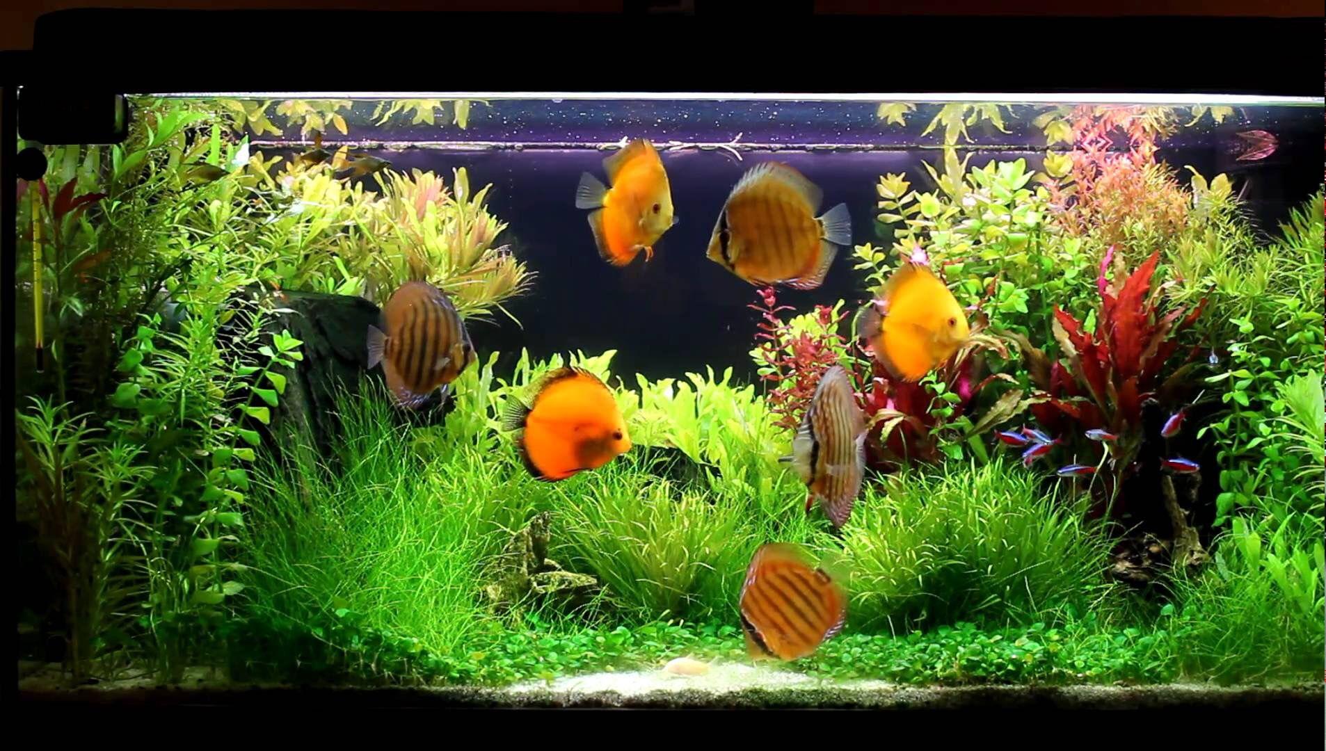 Discus Tank, Discus Aquarium, Discus Fish, Planted Aquarium, Aquarium Design,