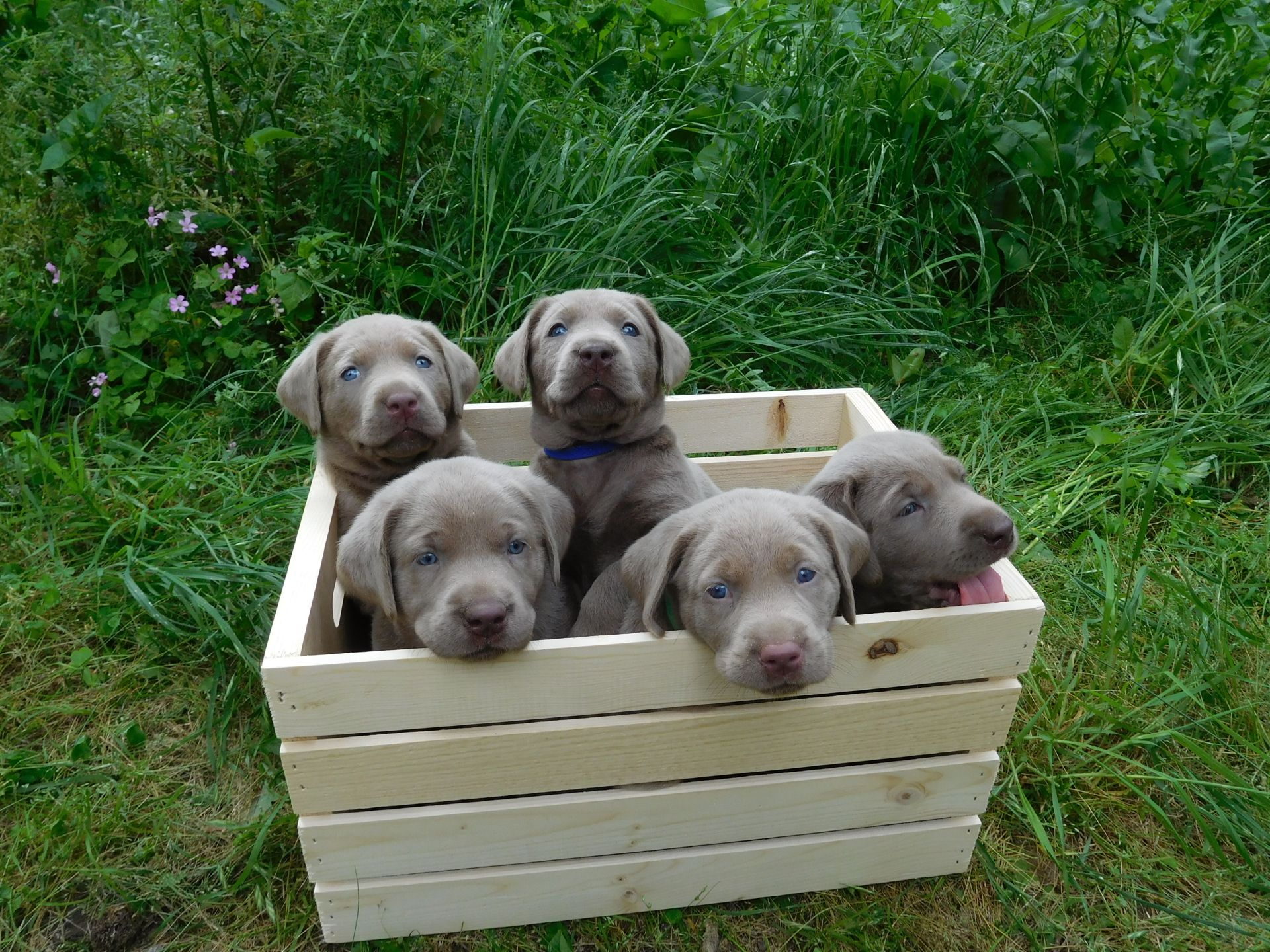 Silver Labrador Puppies For Sale Our Lyrical Labs Texas Labrador Puppies For Sale Puppies Silver Labrador Puppies