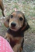 Penny is an adoptable Dachshund Dog in Carthage, MO. We are open Monday through Friday from noon until 5:00 p.m. and Saturday from 11:00 a.m. until 4:00 p.m. We look forward to introducing you to your...