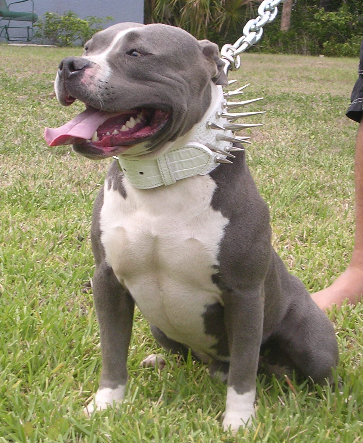 The American Pitbull Registry does accept a merle coat