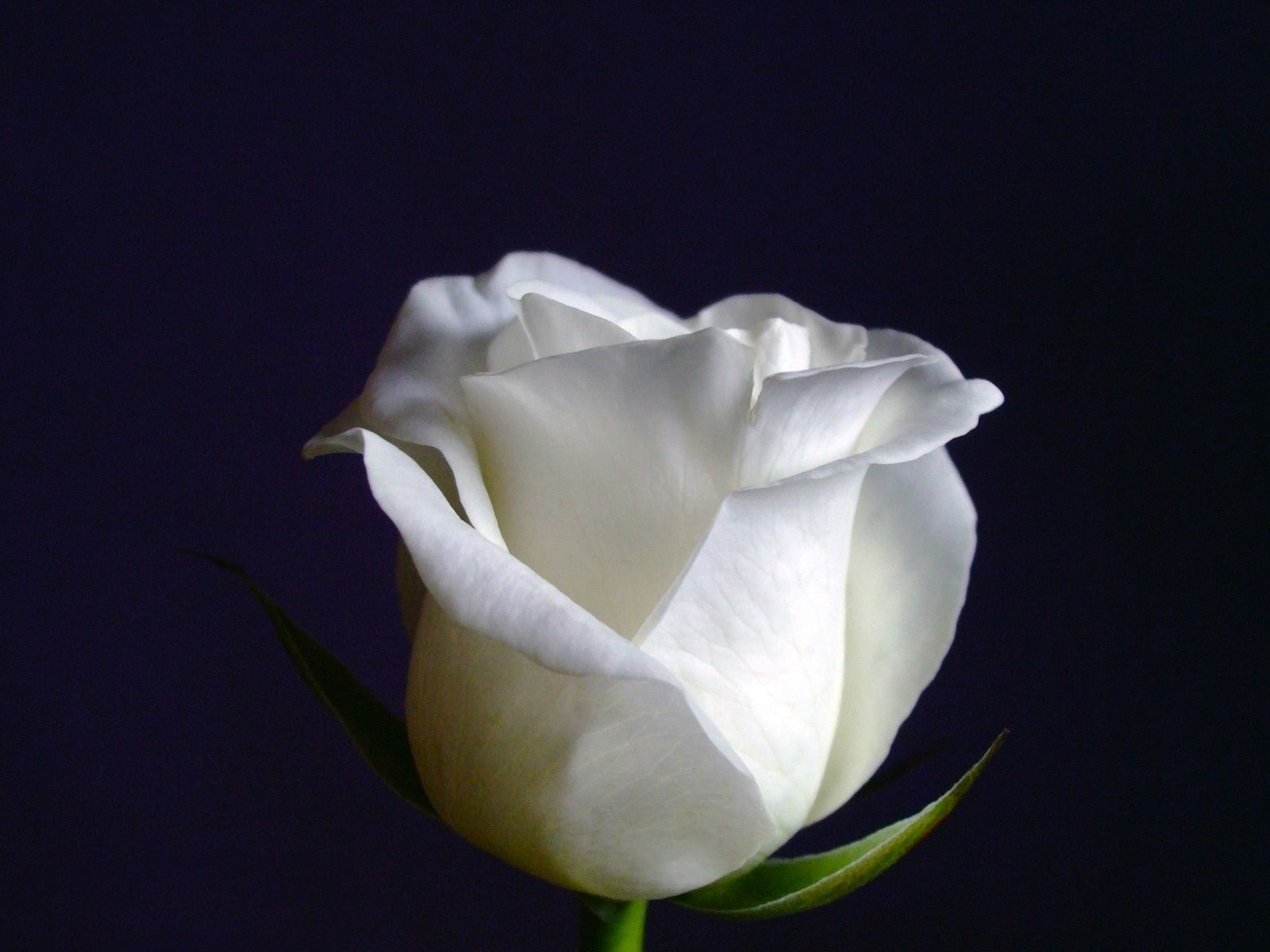 White Rose On Black Background Wallpaper And Photo Download By Photosof Org White Roses Rose Wallpaper Rose Flower Wallpaper High resolution white rose wallpaper hd