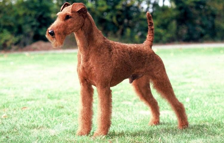 Find Irish Terrier breed info, breeders, clubs, rescues