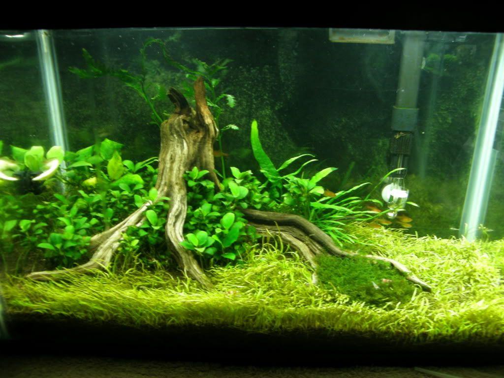 Manzanita Stump Scape Aquascaping Aquarium Ideas