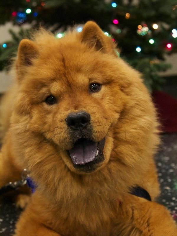 Red Is A 10 Month Old Chow Chow Who Was Found As A Stray He Is