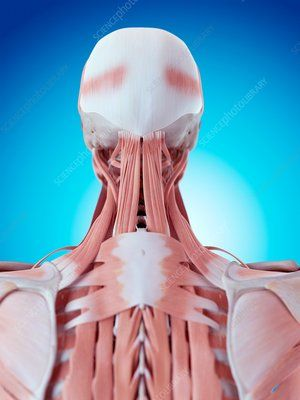 Human neck and back anatomy ALL the Learnening! Pinterest