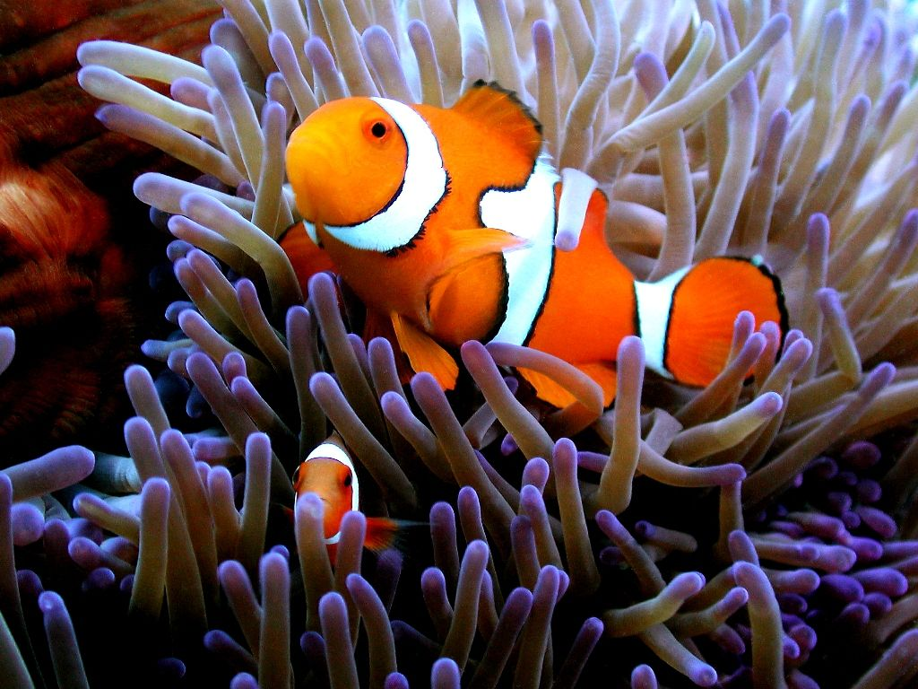 Have You Found Nemo Yet Visit The Great Barrier Reef And You Just Might Find Him Great Barrier Reef Underwater World Anemone