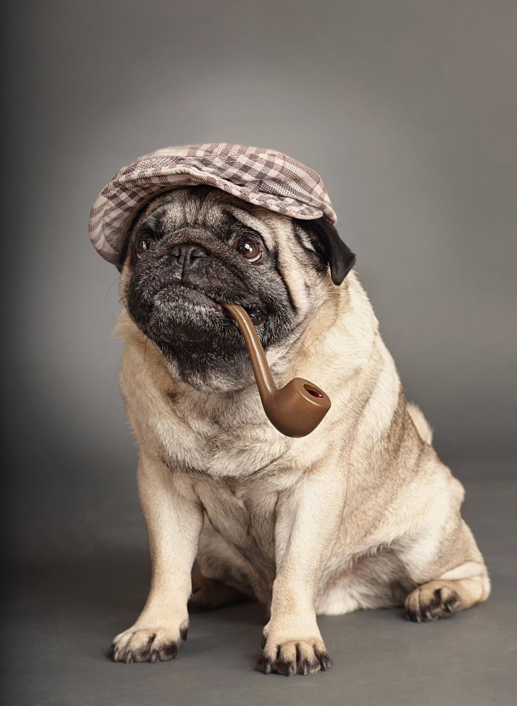 Pug Time On Brachycephalic Pinterest Pugs Dogs And Pets