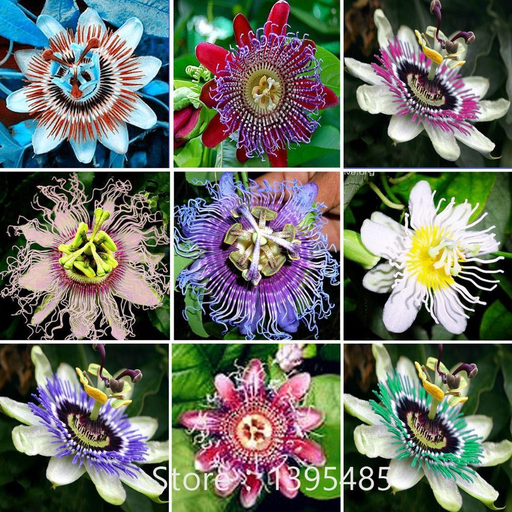Paixao Flor Passiflora Incarnata 100 Pcs Saco Certificado Pure Semente Ao Vivo Verdadeiro Nativa De Plant Sementes De Flores Flores Exoticas Flores Raras