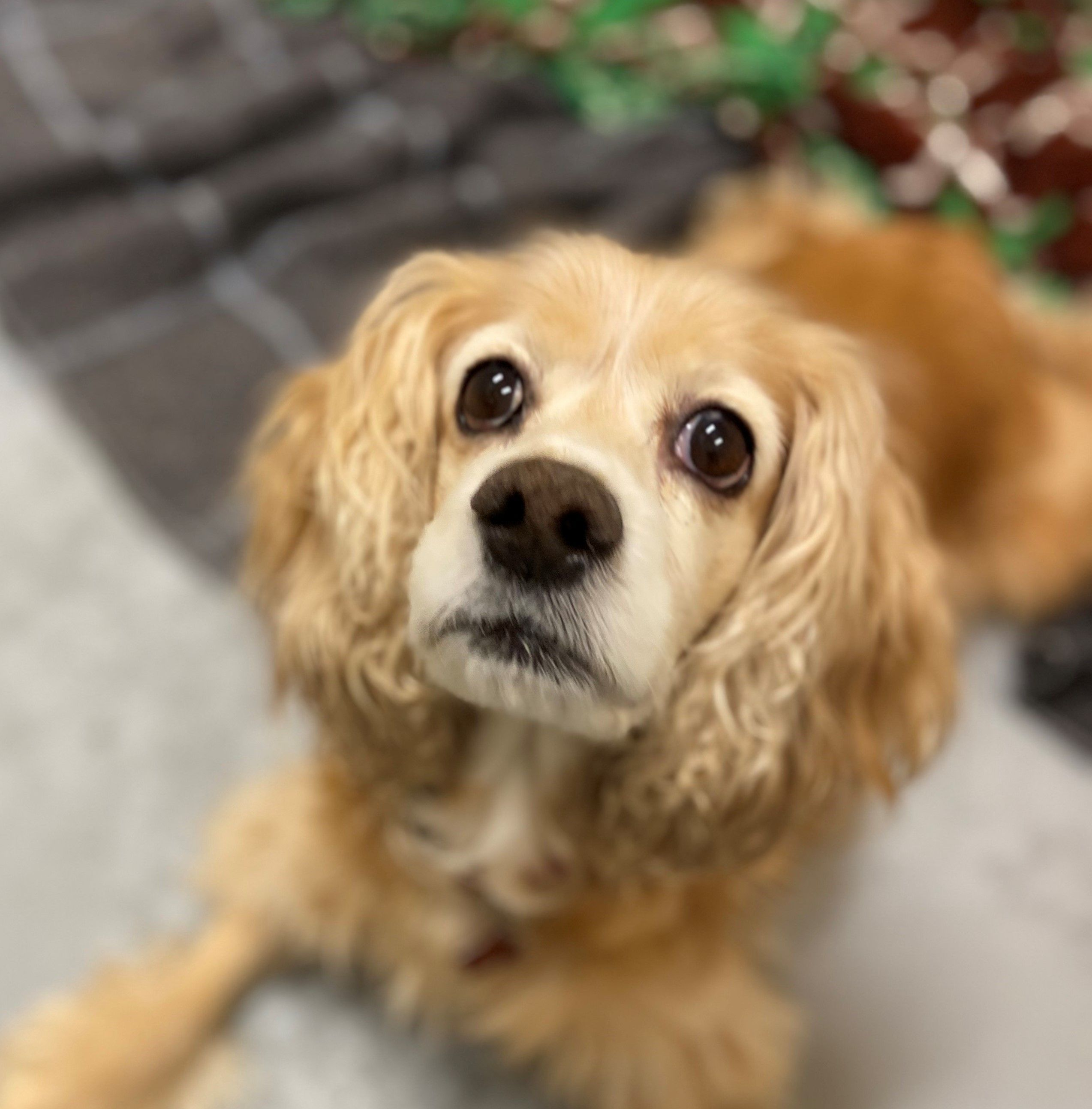 Adopt Paisley On Petfinder Cocker Spaniel Rescue City Pets Dog Adoption