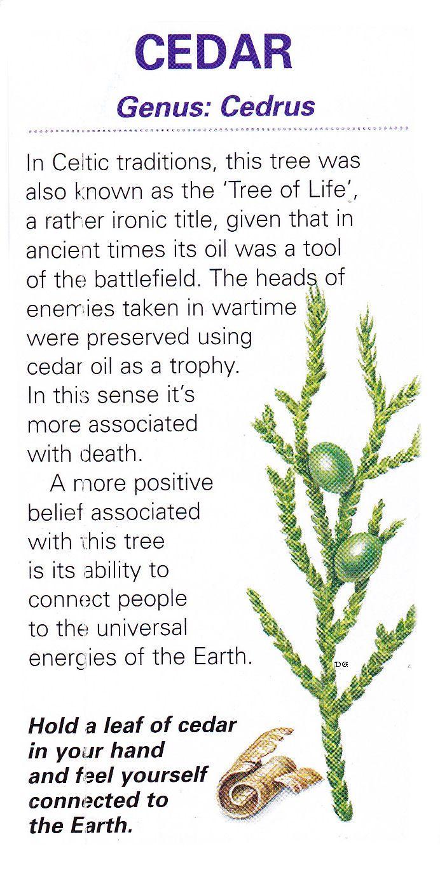 Celtic sacred tree - Cedar: