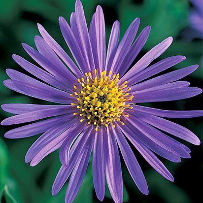 Pin On Flowers Perennials