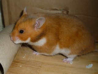 Rust Syrian Hamster | Gallery of Hamster Colors - Dixie Dust