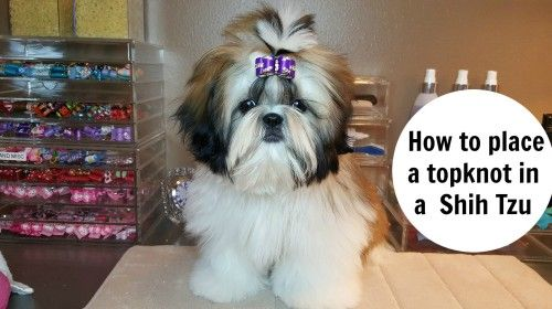 How To Place A Topknot In A Shih Tzu Leah Grace Pinterest Shih