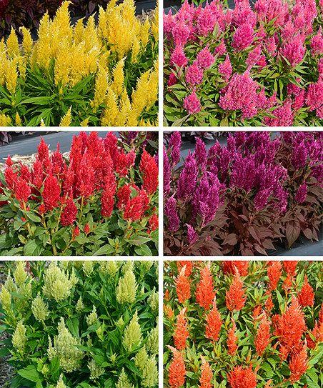 Celosia Deer Resistant : celosia, resistant, Six-Piece, Haute, Color, Celosia, Resistant, Plants,, Flowers,