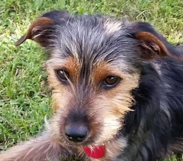 Adopt Dutch on Yorkshire terrier, Yorkie yorkshire