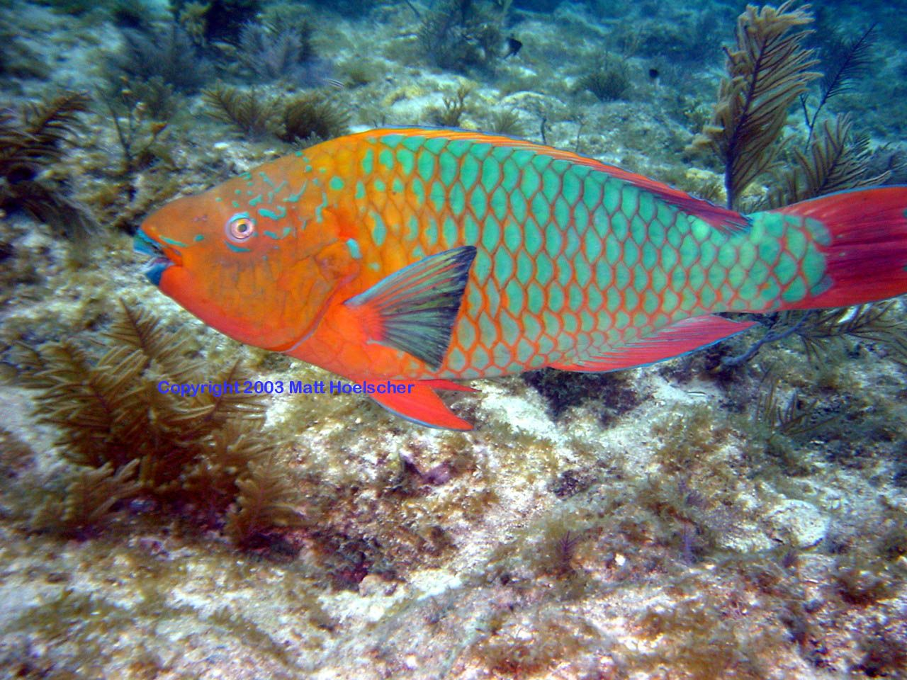 The rainbow parrotfish scarus guacamaia is a species of for Rainbow parrot fish