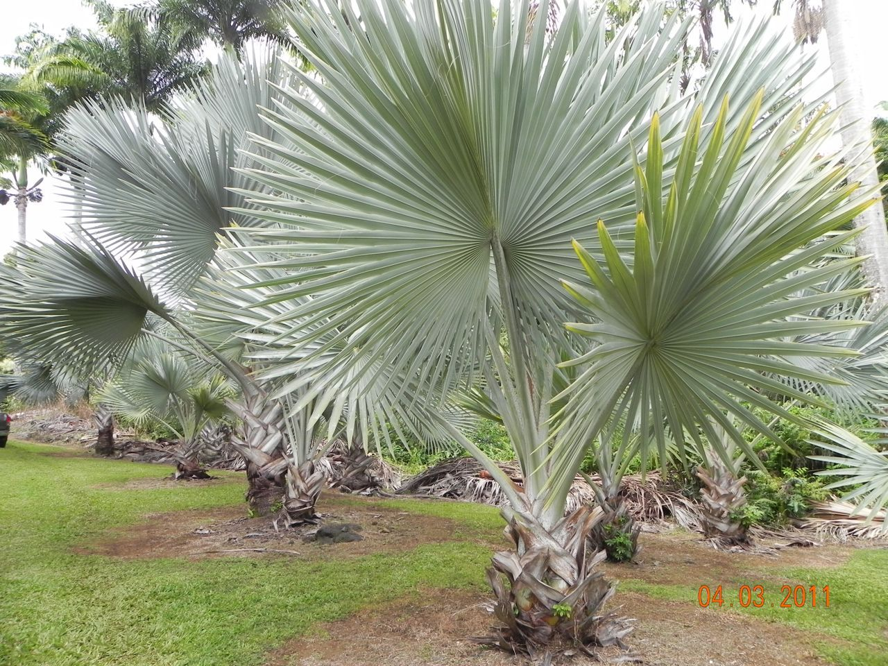 Bismarckia Tim Brian Plants Amp Gardens The Tropics